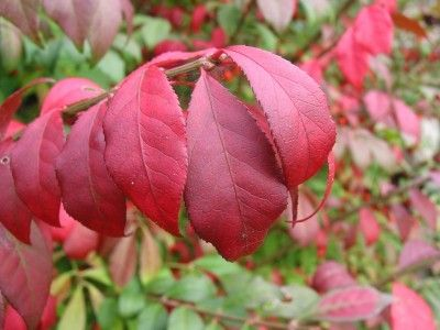 Burning Bush Pruning: How And When To Prune Burning Bushes