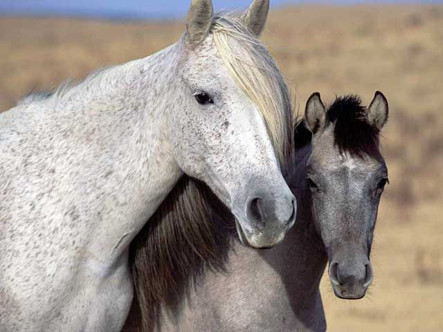 Spanish Mustang horse breed