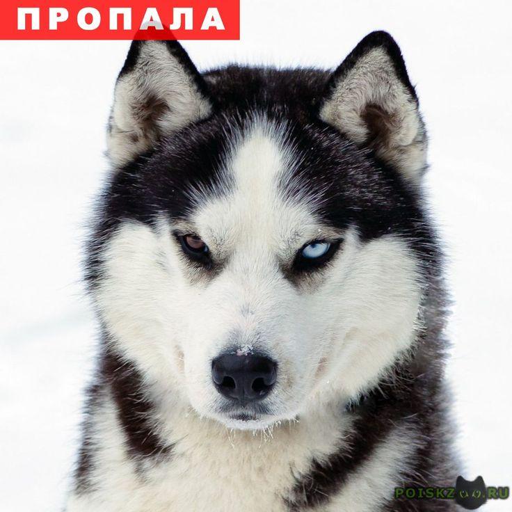 Пропала собака кобель мальчик арчи, порода хаски. г.Краснодар http://poiskzoo.ru/board/read30177.html  POISKZOO.RU/30177 ВНИМАНИЕ РОЗЫСК! НА НЕДЕЛЕ ПРОПАЛ ЧЛЕН НАШЕЙ СЕМЬИ, НАШ СЫН, МЛАДШИЙ ТРЕТИЙ РЕБЕНОК! ЭТО ПЁС ПО ИМЕНИ АРЧИ! ПОРОДА ХАСКИ! ЕМУ ВСЕГО .. МЕСЯЦЕВ, НА ПРОГУЛКЕ ПОБЕЖАЛ ЗА КОШКОЙ И МЫ ЕГО НЕ НАШЛИ! ВЕРНИТЕ РОДНОГО ДОМОЙ, НАШИ ДЕТИ СЫН И ДОЧКА СКУЧАЮТ ПО НЕМУ! МЫ ЩЕДРО ВОЗНАГРАДИМ! ПОМОГИТЕ, МОЖЕТ ВИДЕЛИ, МОЖЕТ У КОГО ТО ИЗ СОСЕДЕЙ ОН ВО ДВОРЕ! УМОЛЯЮ, СЛЕЗ БОЛЬШЕ НЕТ! ЕГО ФОТО…