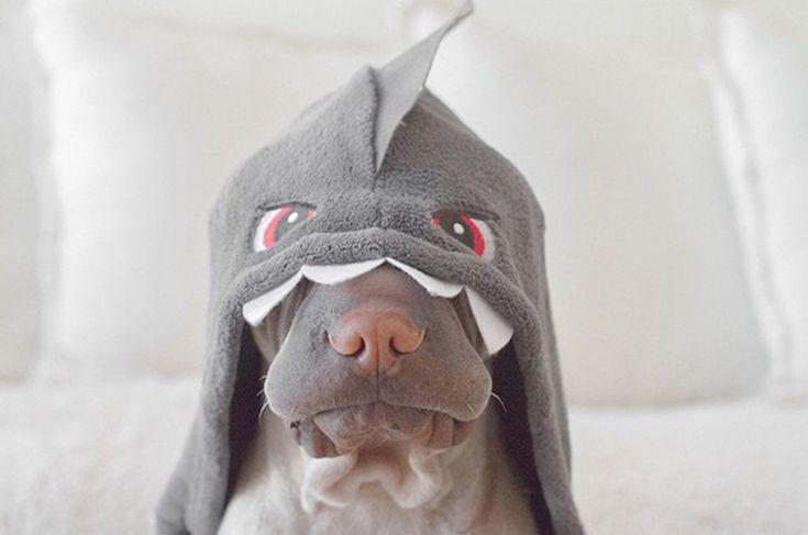 shar-pei-dog-paddington-friend-annie-cat-4