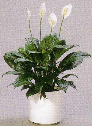 Spathiphyllum - Crinul pacii