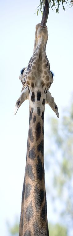 These elegant, long-necked animals are one of the most fascinating animals of Africa.