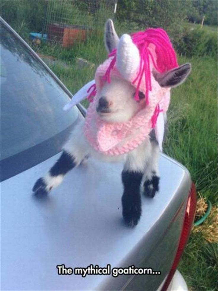 Best 25 Funny goats ideas on Pinterest  Funny goat pictures Funny puppies and Hot guys funny