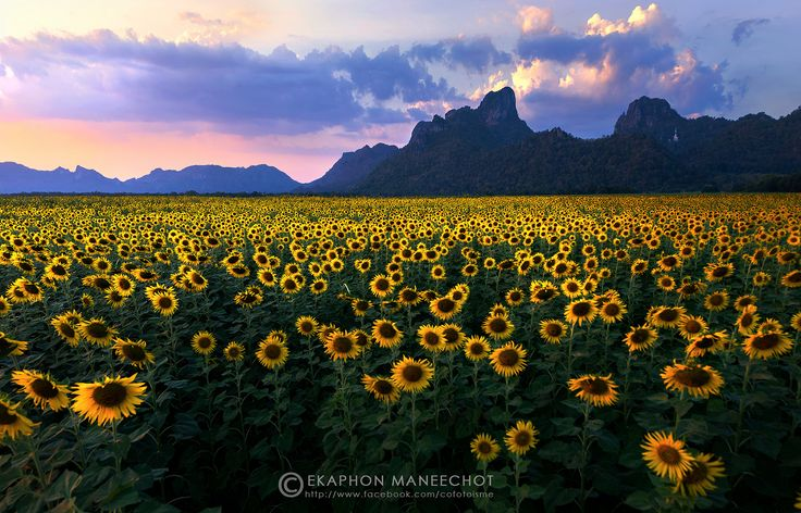 SUN FLOWER FIELD | SUN FLOWER FIELD AT LOPBURI THAILAND | Ekaphon Maneechot | Flickr