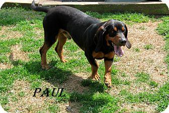 Shelby, NC - Basset Hound Mix. Meet Paul, a dog for adoption. http://www.adoptapet.com/pet/10315886-shelby-north-carolina-basset-hound-mix