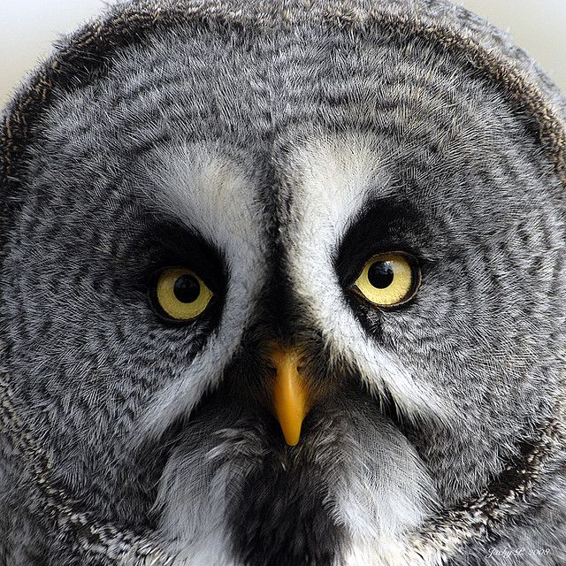 Grey Owl..i love the way this owl looks!