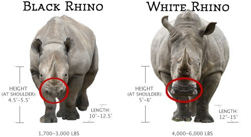 Don't let the name fool you, rhinos are grey in color, not black or white as their names suggest. Both species are found in sub-Saharan Africa and look similar to one another, but the major difference is the shape of their mouths. Black rhinos developed a pointed lip which they use to pick fruit from branches and select leaves from twigs; white rhinos have a flat, wide lip to graze on grasses.