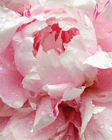 Pale pink peonies always remind me of summer in Michigan. My mom has huge peony bushes by the pool.