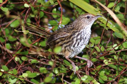 """New Zealand fernbird or simply fernbird (Megalurus punctatus) is an insectivorous bird endemic to New Zealand. The Māori names are kōtātā or mātātā. It is a rich brown above and white below, with brown spots on both the throat and breast. Early settlers called it the """"swamp sparrow"""" no doubt because of its colouration."""
