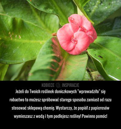 """Jeżeli do Twoich roślinek doniczkowych """"wprowadziło"""" się robactwo to możesz spróbować starego sposobu zamiast od razu stosować sklepową chemię. Wystarczy, ..."""