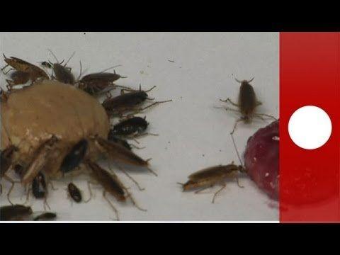 Las cucarachas nacen, crecen, se reproducen... y aprenden a odiar la glucosa - science