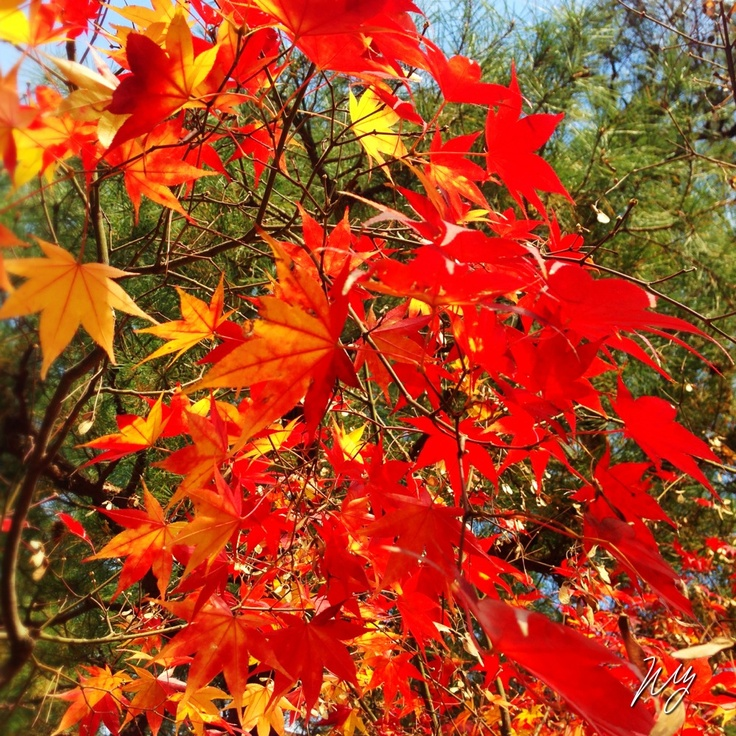 2012/12/10 Photo Diary:  Last Autumn in Kyoto  京都で遭遇した、秋の終わり。 寒い季節に備えた、冬支度が、これから始まる。  I met last autumn figure in Kyoto. It turns to be winter.  from iPhone camera