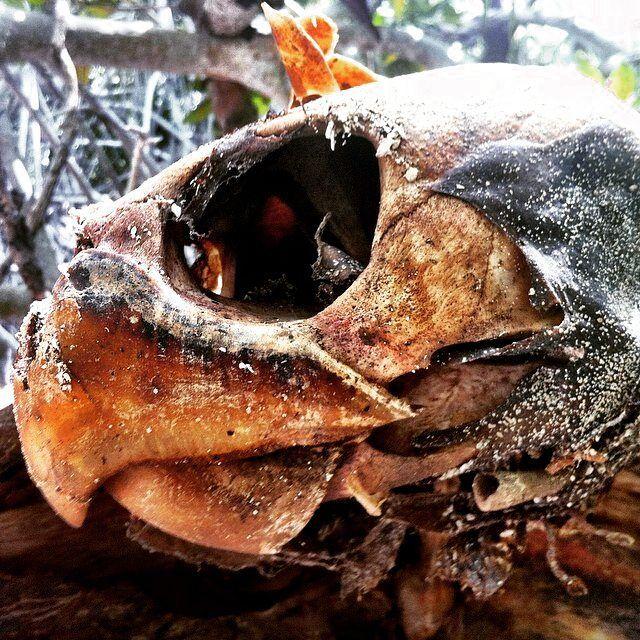 Es un secreto a voces que en el Parque Nacional Archipiélago Los Roques se acostumbra al aprovechamiento de tortugas marinas sobre todo del parape o tortuga carey.  Sin embargo el hecho de que sea una costumbre no quiere decir que sea legal. Mucho menos que sea sustentable para el ecosistema.  La carey es la tortuga marina más amenazada de hecho se encuentra en peligro crítico de extinción. En buena medida esto se debe al aprovechamiento desmedido de su carne y escamas que son utilizadas…
