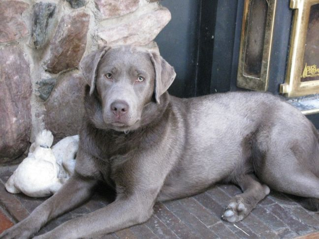I so want a silver lab! Beautiful and highly intelligent.