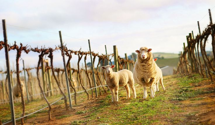 The little-known capital of cool-climate wine - Murrumbateman wine region, NSW  With 49 boutique wineries, Murrumbateman wine region is a great day trip only 40 minutes from Canberra.  Known as a cool-climate region, chardonnay and riesling are the drop to watch here.
