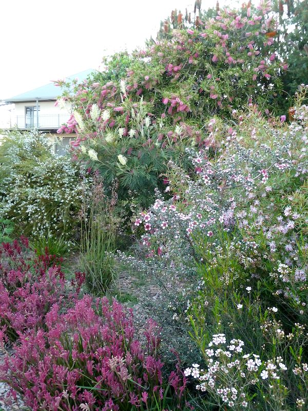 This grove in the north east 'goes off' in spring with Grevillea 'Moonlight', Chamelaucium uncinatum 'CWA Pink', Anigozanthos 'Bush Pizazz', Grevillea 'Jennifer Joy', Callistemon spp. and Leptospermum 'Cardwell'