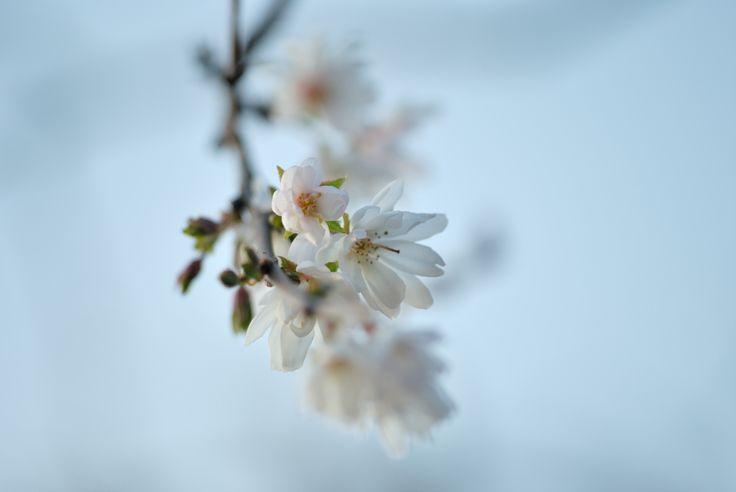 De winter sierkers (Prunus subhirtella 'Autumnalis') begint al in november te ...