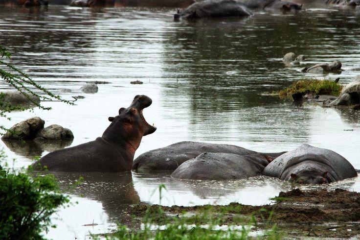 """Algures no Serengeti existe uma poça de lama e água a que os Maasai chamam """"piscina de hipopótamos"""". Qualquer semelhança com uma piscina é pura coincidência. No entanto, a """"piscina"""", no dia 1 de Janeiro de 2015, fez jus ao seu nome e estava cheia de hipopótamos que vieram de manhã bem cedo dar o …"""