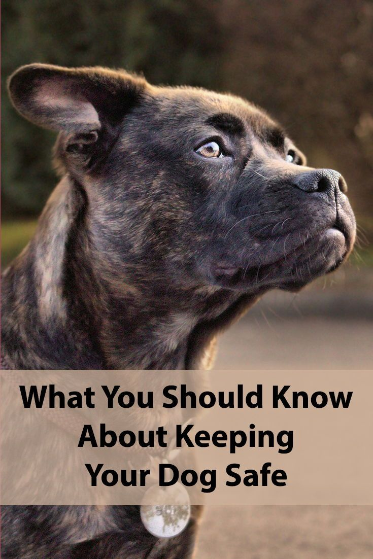 Tips To Keep Your Dog Safe Dogs Dog Safe Pitbull Terrier