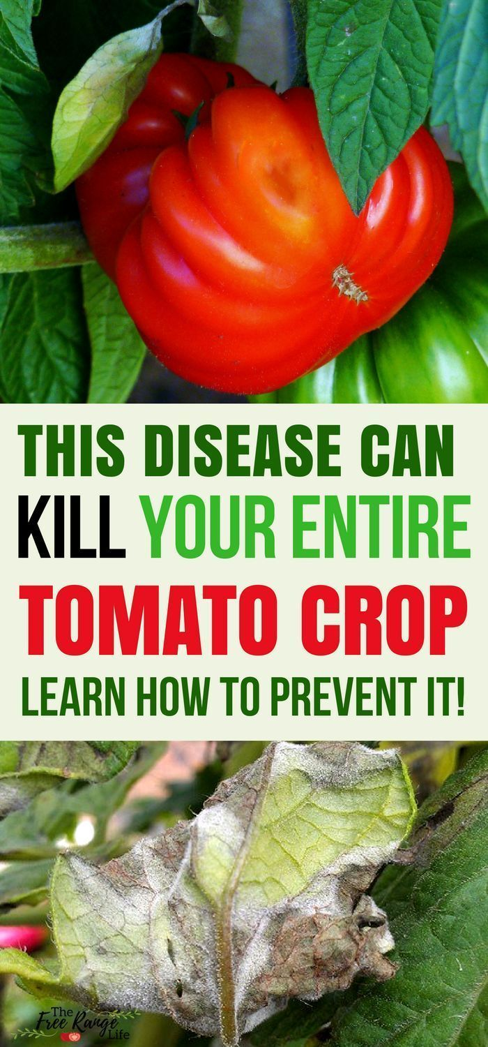 682983ddc682d1260c5ceac194db03a0 - How To Get Rid Of Late Blight On Tomatoes