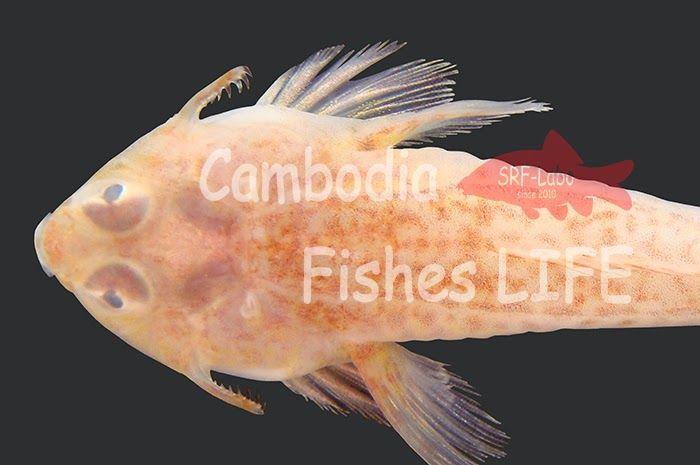 Cambodia Fishes LIFE ・・・・・・・・・・・・・・・・・・・・・・ ~シェムリアップ淡水魚研究所SRF-Labo~: トンレサップ調査2