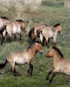"""Przewalski horses- The last truly """"wild horses."""" These are the last remaining undomesticated type of horse living in the wild. They are an endangered subspecies that has come close to extinction."""