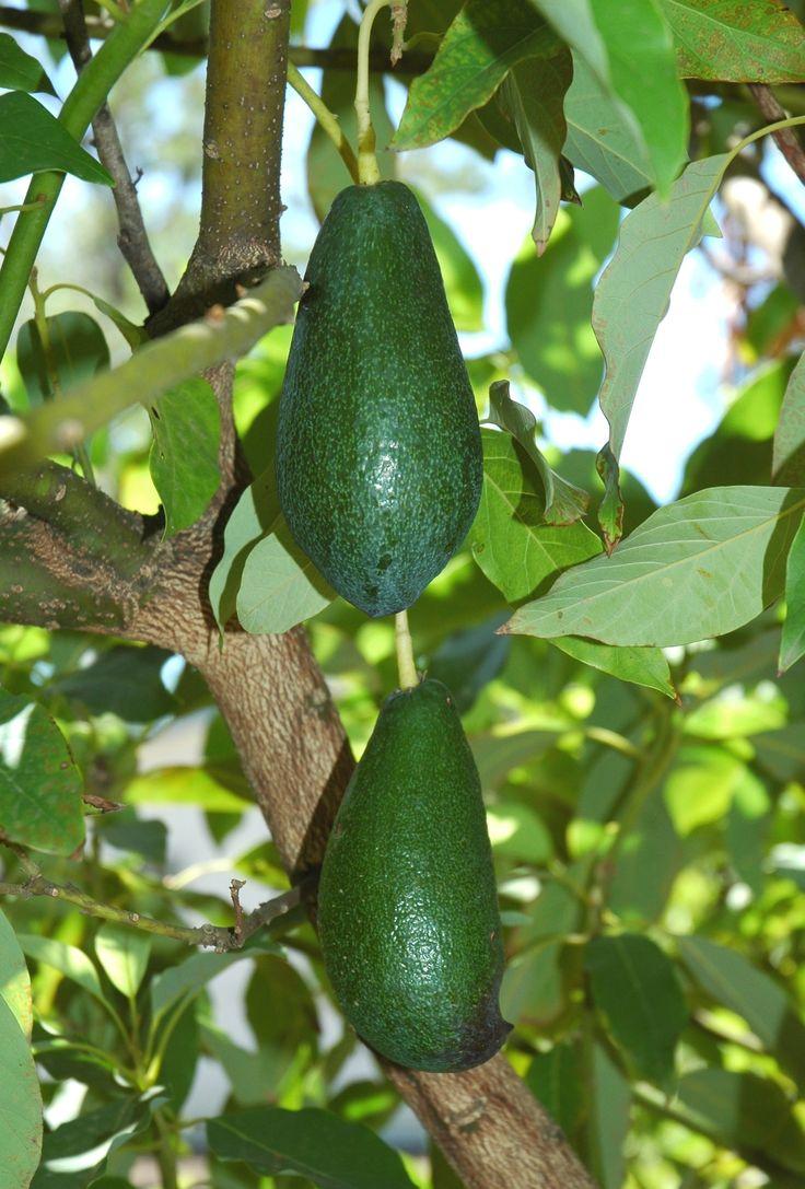 Avocado    http://urbanharvest.org/bearingfruit/wp-content/uploads/2011/11/Avocado_Mexican_8_27_06_1604.jpg