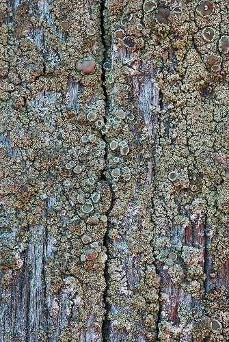 dry, on telephone pole, Seattle image 2cm across www.anbg.gov.au/lichen/ecology-polution.html: Though sulphur dioxide is very damaging to many lichens some are highly tolerant. In the 19th century when coal was a common fuel the resulting smoke was rich in sulphur dioxide and lichen 'deserts' were typical around industrial centres, with very few species (or even none) to be found in such areas. The crustose lichen Lecanora conizaeoides tolerates high sulphur dioxide concen...