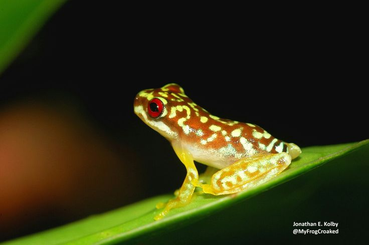 Here's a baby Mossy Red-eyed Frog (Duellmanohyla soralia) from Cusuco National Park, Honduras. This endangered species is at risk of extinction due to chytrid fungus & deforestation. This is one of our priority species at the HARCC-Honduras Amphibian Rescue and Conservation Center.