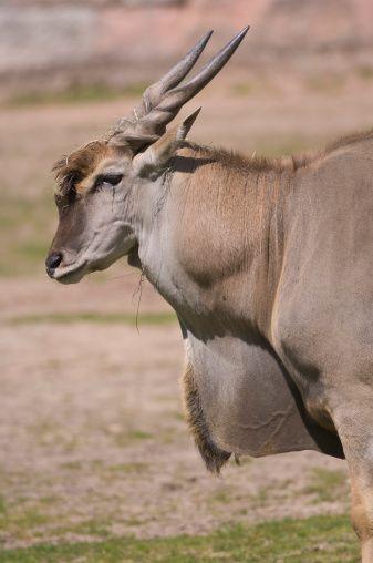 eland - antelope