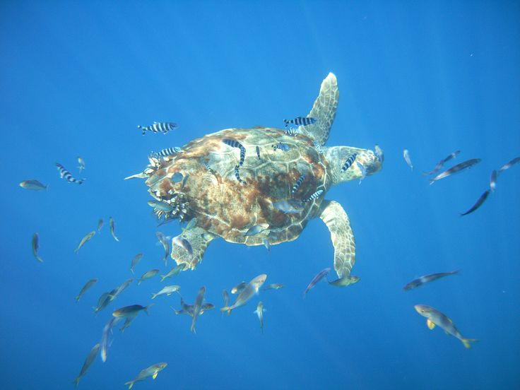 Tortue Caouanne qui nage avec nous lors d'une sortie à bord du Cala Rossa