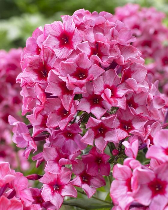 17 best images about phlox flox on pinterest gardens sun and summer. Black Bedroom Furniture Sets. Home Design Ideas