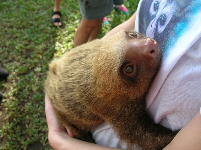 Best 10+ Adopt a sloth ideas on Pinterest | Baby sloth, Sloth sanctuary costa rica and Sloth animal