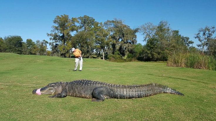 Resultat d'imatges de ALLIGATOR GOLF COURSE