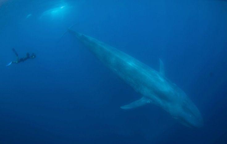 Las ballenas azules son los animales mas grande de todo el planeta, y siempre lo han sido. Una ballena azul promedio tiene doble tamaño que el mas grande de los dinosaurios.