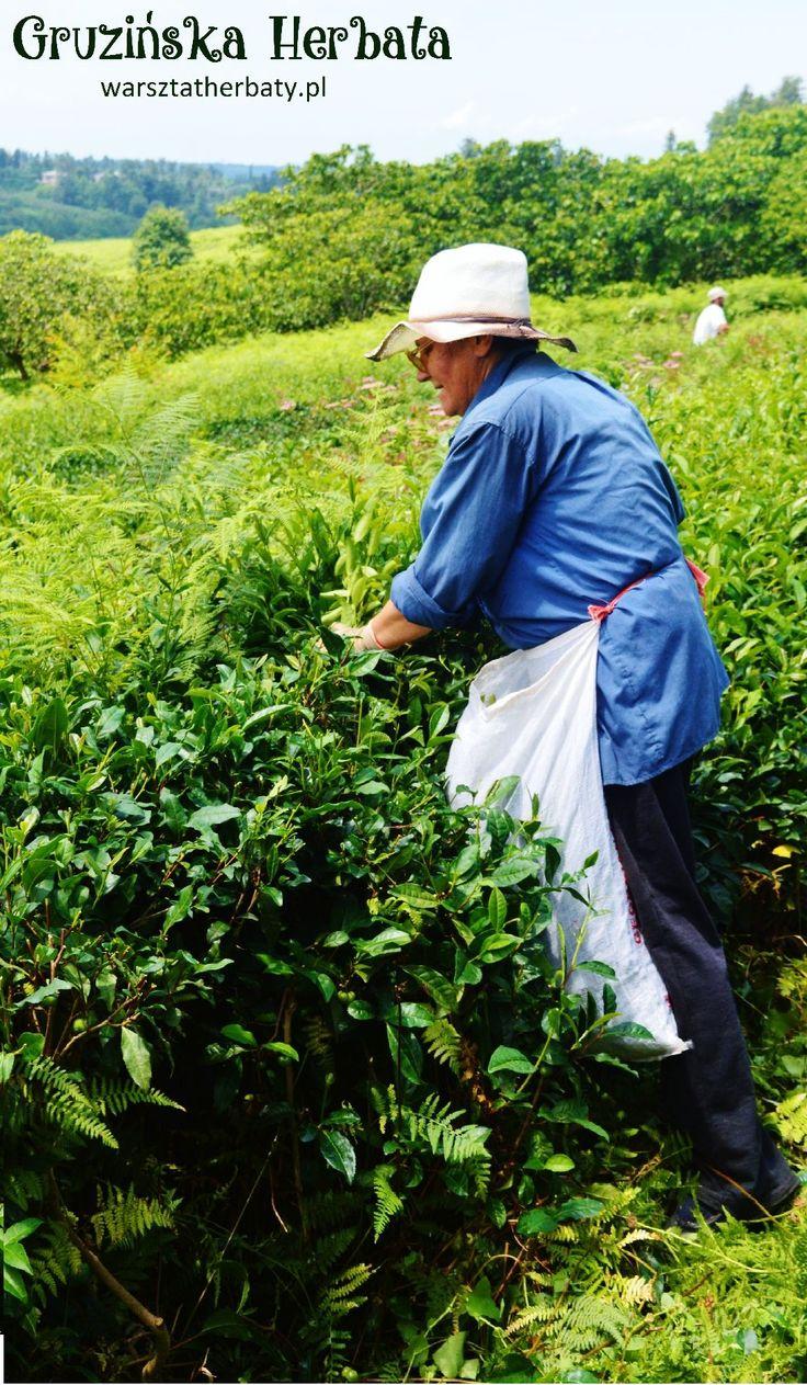 GRUZIŃSKA HERBATA - prawdziwa historia. Prawda o gruzińskiej herbacie http://warsztatherbaty.pl/content/41-gruzinska-herbata