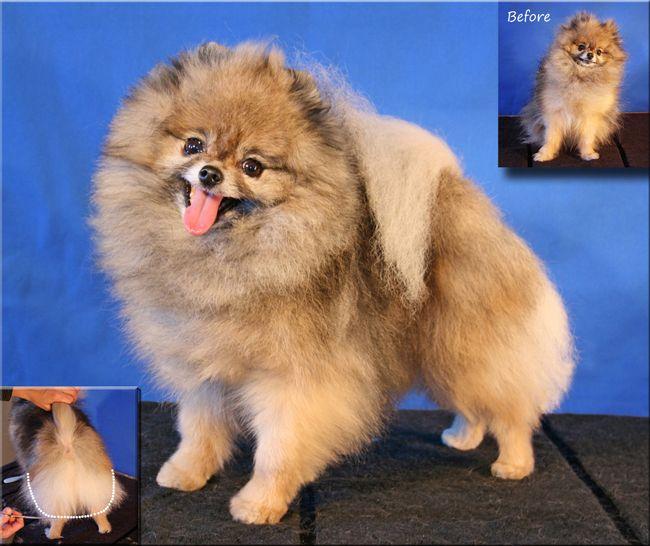 Haircuts For Pomeranians: The 25+ Best Pomeranian Haircut Ideas On Pinterest