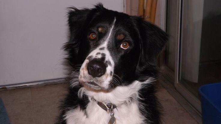 8 Best Black And Tan Puggles Images On Pinterest Beagle