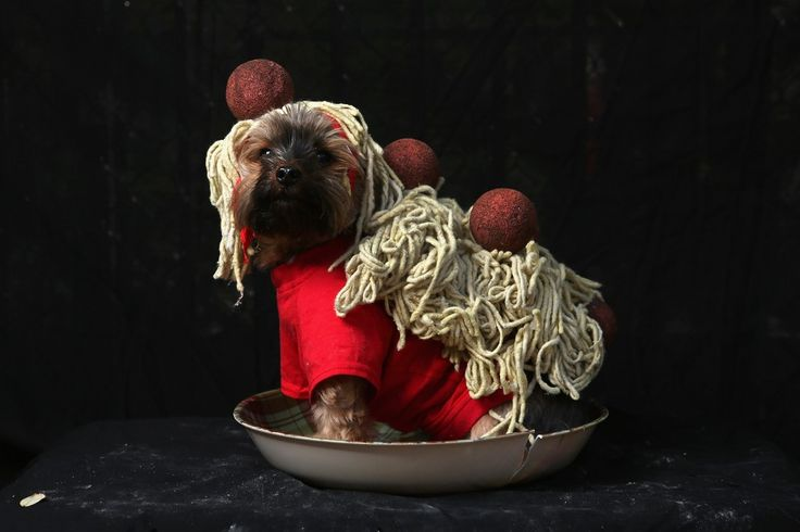 Spaghetti and meatballs yorkie