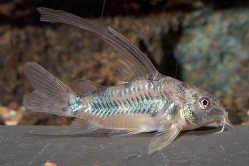 picture of Longfin Paleatus Corydoras Med                                                                       Corydoras paleatus 'Longfin'