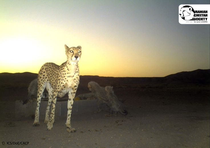 The Unknown Fate of the Asiatic Cheetah - Iranian Cheetah Society. Report- status of Cheetahs in Iran.