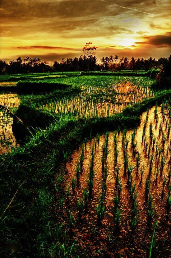 Rice paddies in Bali at sunset.: