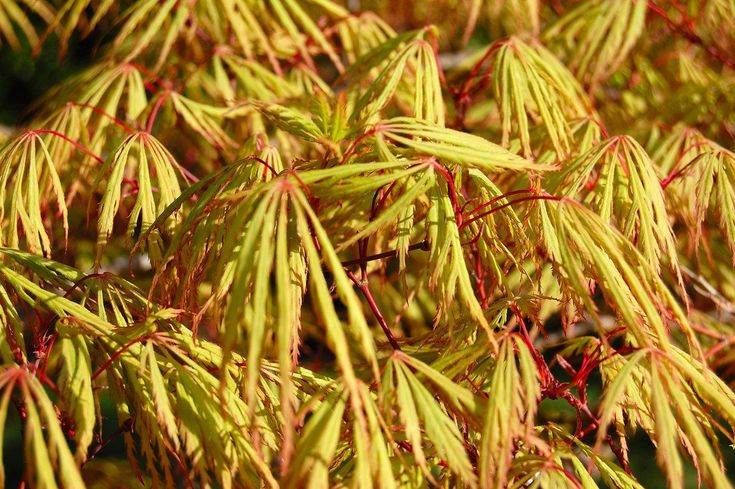 Acer palmatum dissectum in 7cm pot - seed grown