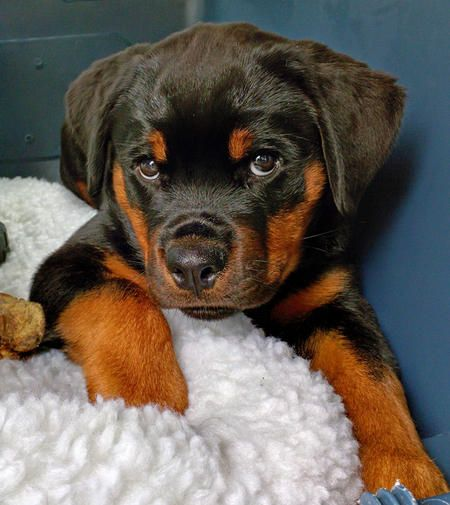 Crosby the Rottweiler Pictures 1036815