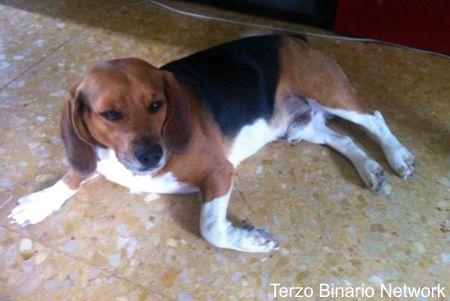 SONA (VERONA): SMARRITO TOBIA, CANE BEAGLE TRICOLORE http://www.terzobinarionetwork.com/2015/09/sona-verona-smarrito-tobia-cane-beagle.html