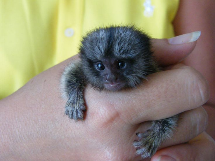 Pygmy Marmoset Monkeys for Sale | pygmy-marmoset-for-sale.jpg