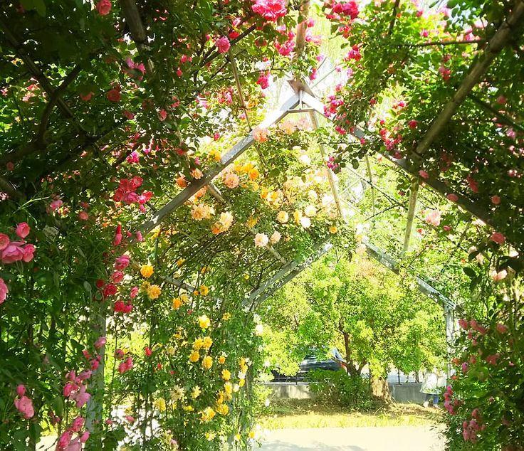 日本一長いバラのトンネル❗らしいです。 この週末が見頃のピークな気がします。 以外な穴場を見つけた  Japan long roses of tunnel  #平成の森公園 #バラ #薔薇 #rose #roses #バラトンネル #公園 #flowers #flower #flowerstagram #flowergram #park