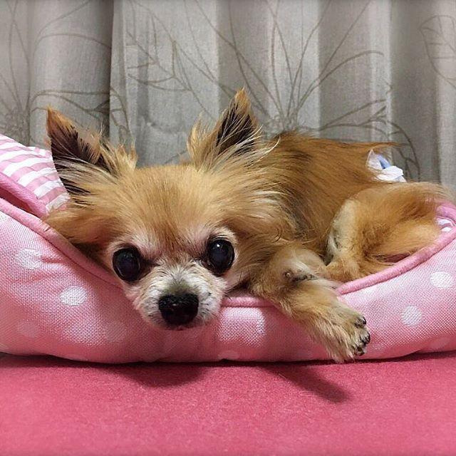 こんばんは〜🌟 * お疲れ様です◡̈⃝︎⋆︎❤️ * タルトに夏用のピンクのベッド🛏と、 冷んやりマットを購入しました💖 * * #夏用#ベッド#冷んやりマット #介護生活#介護犬#老犬#オムツ #chihuahua#chihuahualove #instadog#多頭飼い#犬 #dogstagram#doglover #mydog#cutedogs#치와와#吉娃娃 #ロングコートチワワ#愛犬 #チワワ部#チワワ#ちわわ#ふわもこ部 #chihuahuastagram#doglife #シニア犬#14歳#タルト#tarto