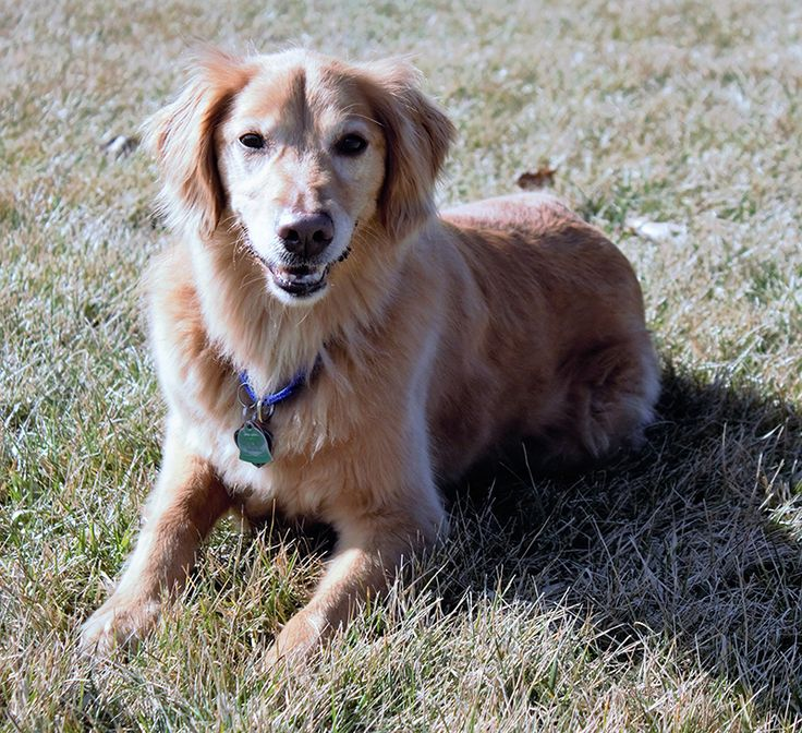 This is Hana - 6 yrs.  She was an owner surrender due to lack of time. She is spayed, current on vaccinations, potty trained, knows basic commands and several tricks, walks well on a harness, good with dogs and kids over age 10 yrs. She has good energy and would like an active family. Golden Retriever Rescue Resource, OH. - http://www.gr-rescue.org/golden_retrievers_for_adoption_6.html