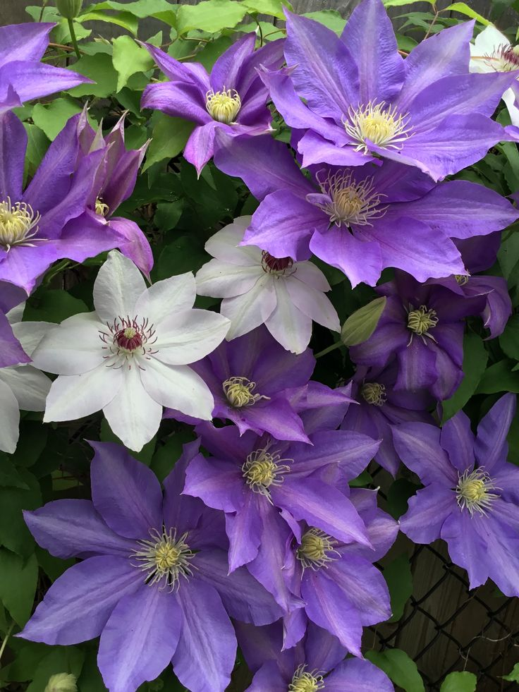 7 Splendid Climbing Vines for your home and garden 1.Clematis- If you want the Clematis for your trellis or arbor you will have to go with the taller variety of clematis. The blooming season begins during the early spring and only after one season the whole structure will be covered in Clematis. These vine plants are easy to grow, require less maintenance and at the end of the year your garden will be filled with intriguing and colorful flowers. see more naturebring.com